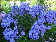 Phlox paniculata `Blue Paradise` (Vlambloem) Kleurt vooral in de avond blauw van de kou.