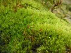 Moss in the ancient Wistmans Wood ( on Dartmoor).