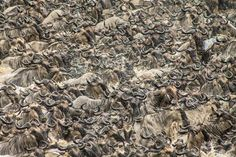 How many wildebeest can you count, seen here on Kenya's Mara River? Join the rush and enter the 2014 Traveler Photo Contest before it's too late. The contest ends National Geographic Photo Contest, Sounds Of Birds, Kenya, Tanzania, Wonderful Time, Animals Beautiful, How To Dry Basil, Travel Photos, Things To Do