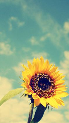 Sunflowers on a hot summer day.