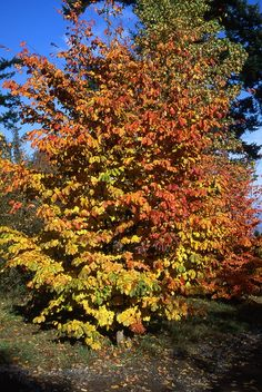 Persian ironwood parrotia persica another must have for Specimen trees zone 5