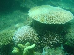 Corals may fare better in turbid waters, research finds