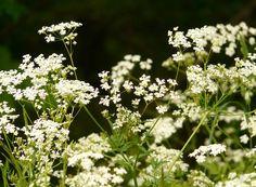 Fastenrezept: Tortellini in Kerbelsauce Tortellini, Spring Flowers, White Flowers, Elderflower Wine, Cow Parsley, Urban Farmer, Veg Garden, Growing Seeds, Summer Prints