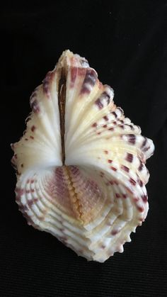 Mermaid Shell, Shell Collection, Snail Shell, Patterns In Nature, Clams, Rocks And Minerals, Sea Creatures, Amazing Nature, Sea Shells