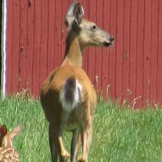 Mama and fawn out by barn, fathers day 2014
