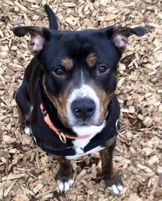 Meet Dyno, a Petfinder adoptable Pit Bull Terrier Dog | Seattle, WA | Delightful Dyno in a foster home, and is currently not at the shelter.  Please find instructions on...