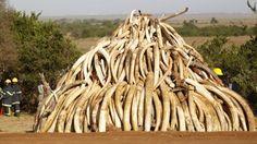Le plus grand marché d'ivoire au monde ferme ses portes : une nouvelle fantastique pour la survie des éléphants !
