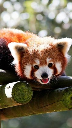 Red Panda Smiling