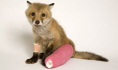 Give me a break: A four-week old fox cub recovering at hospital in May after suffering a broken back leg