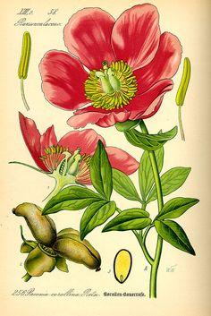 Illustration Paeonia mascula0 - Pfingstrosen – Wikipedia