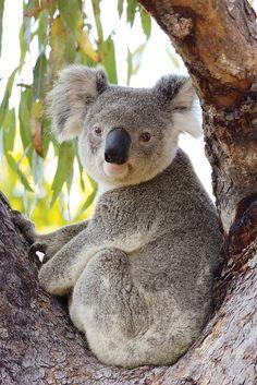 How cute is this Koala?