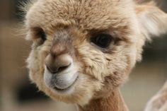 Baby camel - so cute!