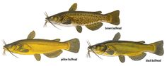 Bullheads. These are prolific members of the catfish category.