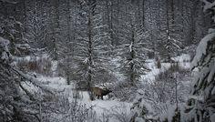 Elk Alberta Canada