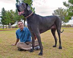 El perro mas grande del mundo.   .