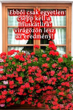 Ebből csak egyetlen csepp kell a muskátlira: virágözön lesz az eredmény Funny Facial Expressions, Diy Flooring, Baby Makes, Gerbera, For Love And Lemons, Agriculture, Orchids, Easy Diy, Home And Garden