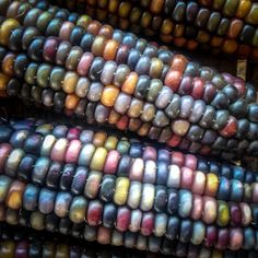 Glass Gem Corn Seeds