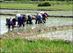 Women gathering rice. Mazandaran, northern Iran.