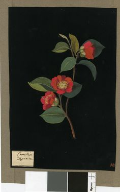 Camellia Japonica, from an album (Vol.II, 43). 1779 Collage of coloured papers, with bodycolour and watercolour, on black ink background Mary Delany (British; Female; 1700 - 1788)