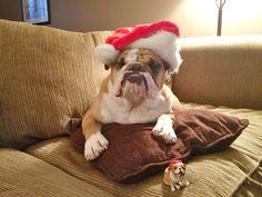 English bulldog Christmas Chubbs :)  www.pinterest.com/doraBullBully  https://www.facebook.com/AdorABullBulldogs