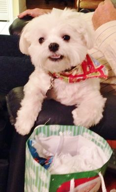 Shelby's decked out for the holidays in his Christmas bandana.