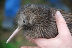 The kiwi is the only bird to have its nostrils at the tip of its beak. Other birds have the nostrils higher up, usually near the base by its face. But not the kiwi. It has the second largest olfactory bulk relative to the size of its forebrain (the condor having the largest), meaning it has an exceptional sense of smell. It uses this sense of smell and these specially placed nostrils to locate food in leaf litter.