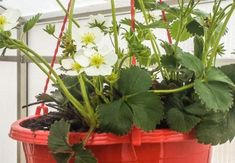 Inmultirea si cultivarea capsunilor in sera Organic, Garden, Agriculture, Plant, Garten, Lawn And Garden, Gardens, Gardening, Outdoor
