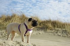 Cute little pug looking out at the ocean.