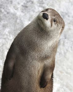 ~~Curious North American Otter by proflo~~