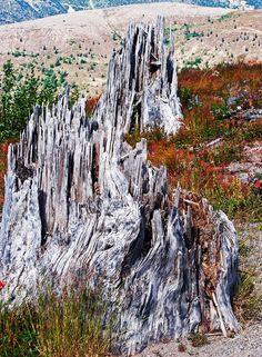 Shredded Trees -- 3 decades after Mount St Helens Eruption