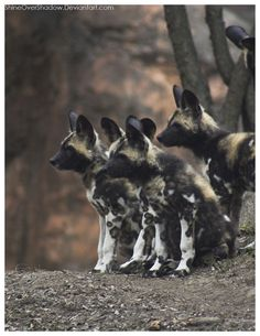 African Wild Dog - Pups 004 by ShineOverShadow on DeviantArt African Wild Dog, Wild Dogs, Hyena, African Animals, Animal Kingdom, Safari, Hunting, Wildlife, Creatures