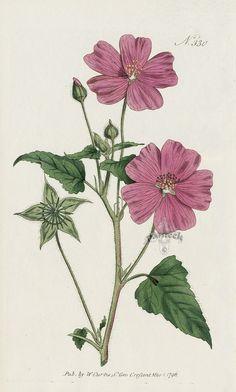Botanical Flowers, Botanical Art, Botanical Illustration, Vintage Botanical Prints, Antique Prints, Flower Collage, Malva, Nature Prints, Pretty Art