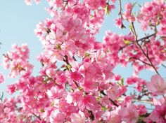 i can't tell if those are cherry blossoms or not but either way they're absolutely beautiful! ^-^