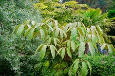 Schefflera delavayi - This Himalayan species grows eventuall to 6 or 8 ft and can have leaves in excess of 2 ft wide with exquisite tawny indumentum. Dappled shade is best with even moisture.