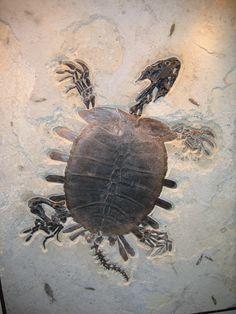 fossil turtle milyon ildir ki hec bir deyisikliye meruz qalmamis tisbaga fosili