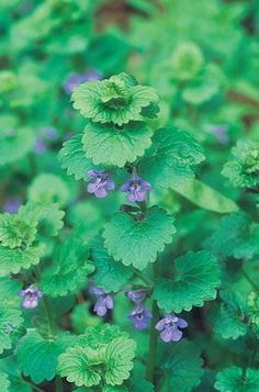 Hated by today's gardeners for its invasive nature this herb is rich in vitamin C and can be added to soups and even beverages. Hated by today's gardeners for its invasive nature this herb is rich in vitamin C and can be added to soups and even beverages. Healing Herbs, Medicinal Plants, Edible Wild Plants, Herbs For Health, Plant Identification, Wild Edibles, Growing Herbs, Fast Growing, Edible Flowers