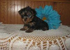 Puppies for Sale Yorkies For Sale, Puppies For Sale, Yorkshire Terrier Puppies, Animals, Beautiful, Animales, Animaux, Animais, Animal