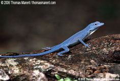 World's only pure blue lizard, the anole. Almost extinct; see mongabay.com to read more.