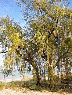 Fall Willow #3