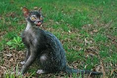 werewolf cat breed kitten - Google Search