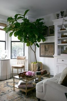 Inspiration: Bringing Bigger Plants Indoors | Apartment Therapy fig tree