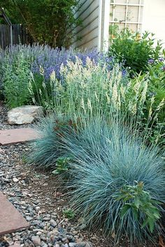 Drought Tolerant Landscape & Path Ideas - front yard ideas no grass Blue Fescue, Fescue Grass, Drought Tolerant Landscape, Landscape Grasses, Water Tolerant Landscaping, Drought Resistant Landscaping, Drought Resistant Plants, Landscape Edging, Path Ideas
