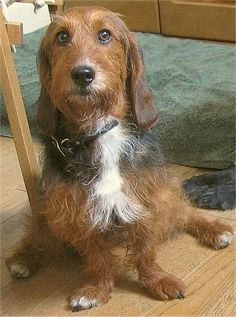 basset hound + poodle. question, what CAN'T you mix with a poodle and it be absolutely adorable?