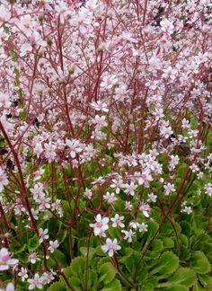 garden shrubs for sale Pink Garden, Shade Garden, Dream Garden, Garden Shrubs, Garden Plants, Garden Landscaping, Beautiful Gardens, Beautiful Flowers, Arrangements Ikebana