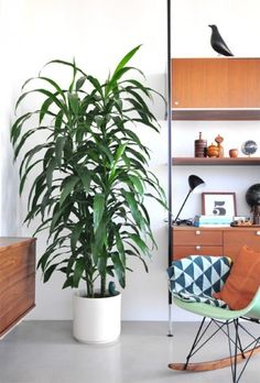 Dracaena: Here's a large plant that comes in several varieties, all of which are safe for nurseries. If your darling's room is jungle-themed, dracaena is definitely the way to go.