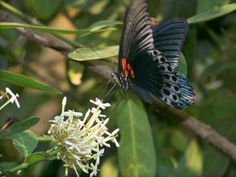 Kupu-kupu hitam