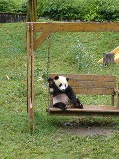 Fotografia de oso panda disfrutando de la vida [3-7-17]