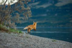 This is another late night shot, taken around 10:45 PM.  Two of the foxes were…
