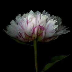 TOUCHED BY PINK... PEONY BLOOM by Magda Indigo on 500px