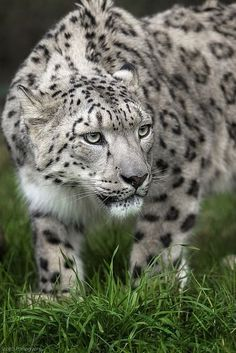 One very unhappy or suspicious snow leopard. Look at that grumpy face. by jacklyn Pretty Cats, Beautiful Cats, Animals Beautiful, Big Cats, Cool Cats, Cats And Kittens, Animals And Pets, Cute Animals, Gatos Cool